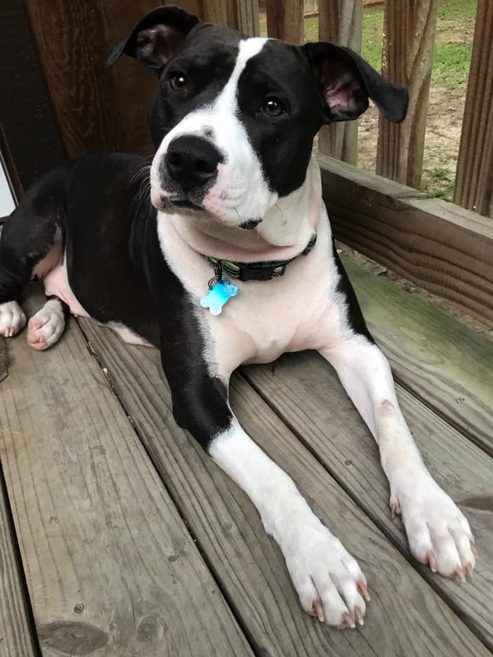 El, an adopted American Staffordshire Terrier & Terrier Mix in Carencro, LA