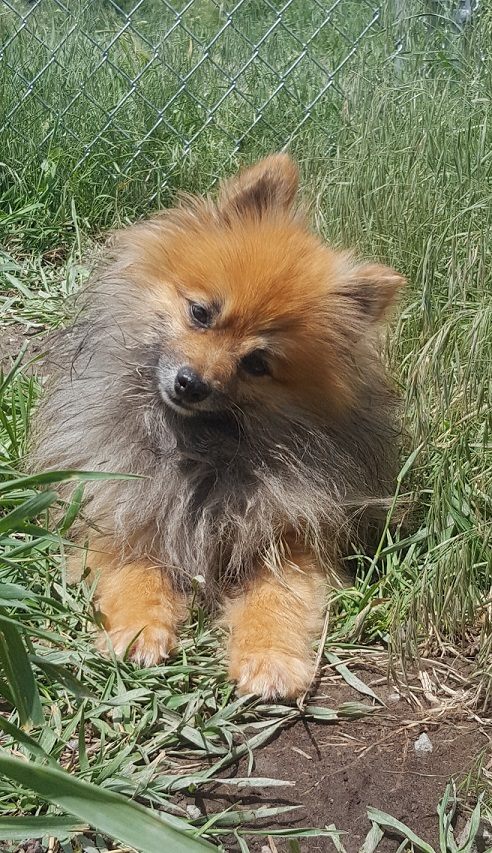 Zach, an adoptable Pomeranian in Ridgway, CO