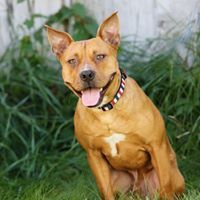 Chuck, an adoptable Staffordshire Bull Terrier Mix in Kennewick, WA