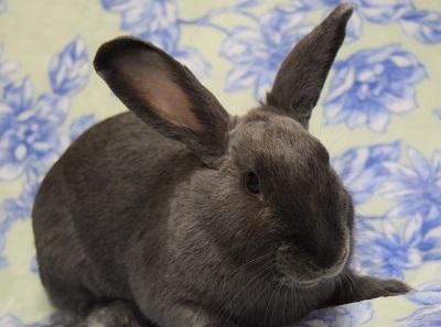 Rabbit for adoption - Kailua, a Beveren in Folsom, CA
