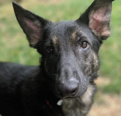 Joshua, an adoptable German Shepherd Dog Mix in Alpharetta, GA