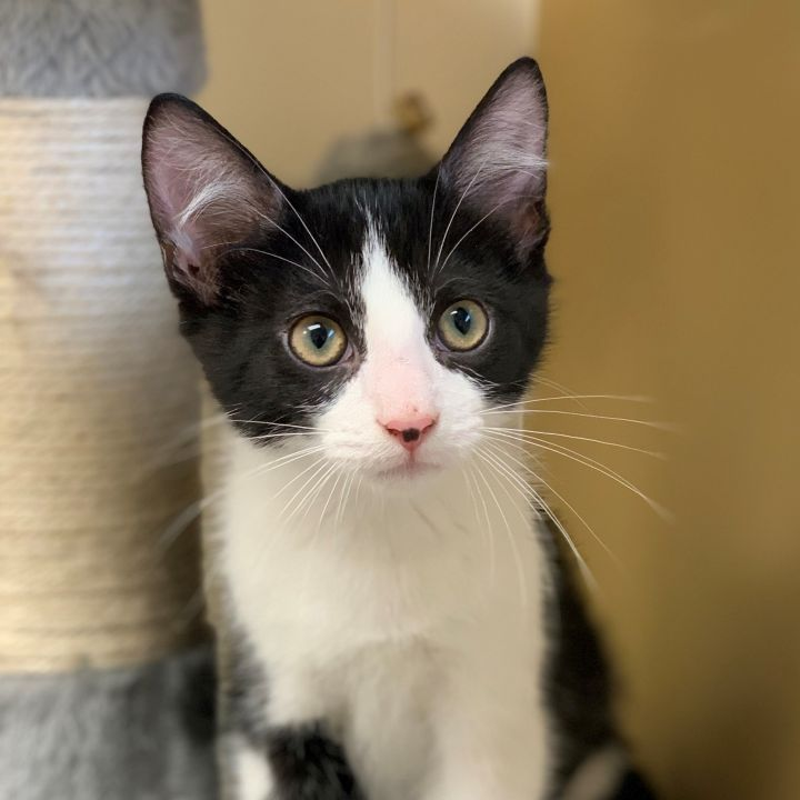Spanky, an adoptable Domestic Short Hair in Naperville, IL