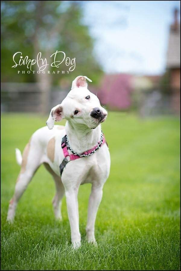 Patsy, an adoptable American Bulldog & Pit Bull Terrier Mix in Dublin, OH