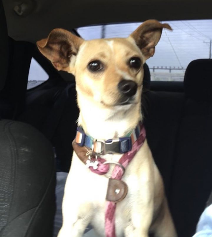 Dog for adoption - Buster, a Terrier & Chihuahua Mix in Boise, ID