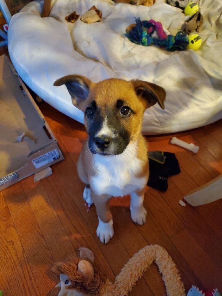 Rosalina, an adopted Shepherd Mix in Naperville, IL