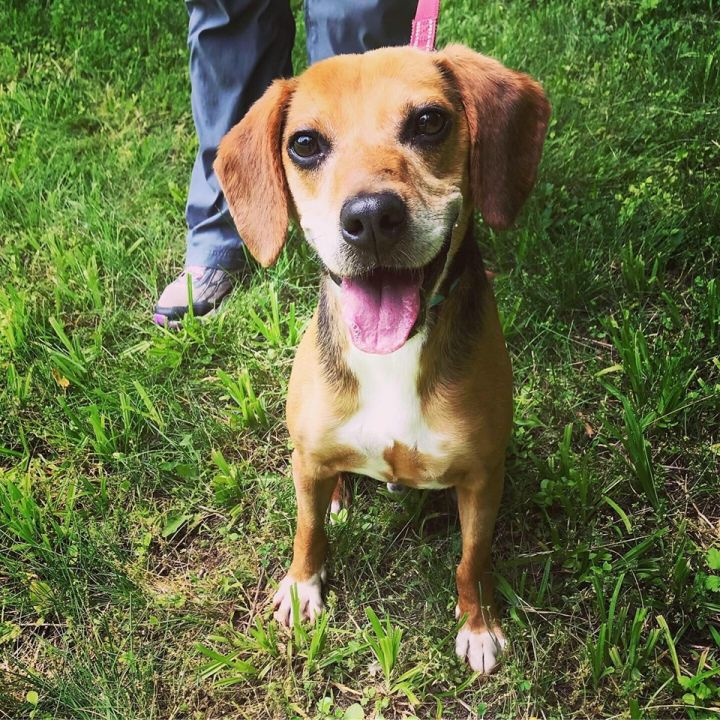 Mac, an adopted Beagle Mix in New Milford, CT