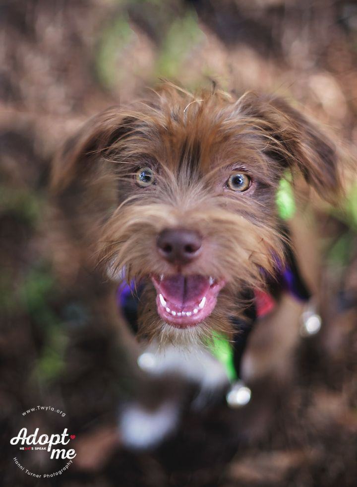 Bronx, an adopted Schnauzer & Terrier Mix in Kingwood, TX