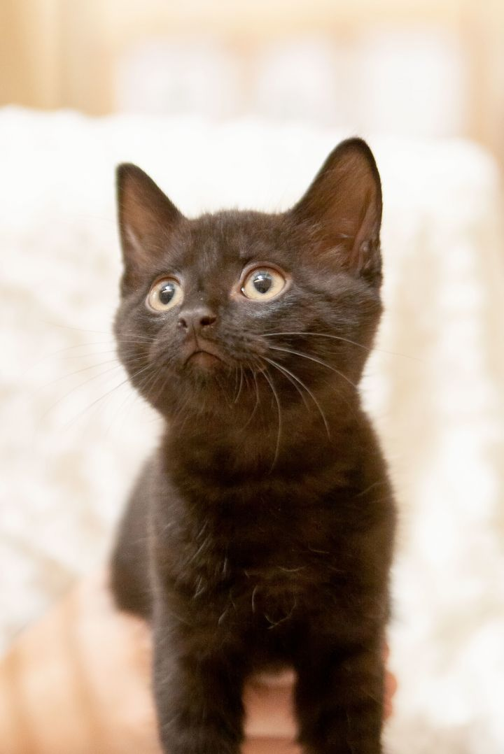 Gus, an adoptable Domestic Medium Hair Mix in Waxhaw, NC