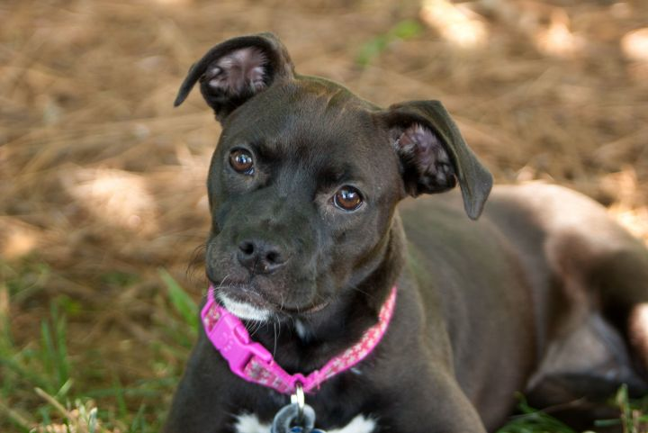 May, an adoptable Boxer & Pug Mix in Waxhaw, NC