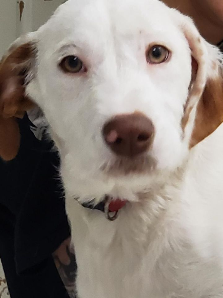 Kimmie, an adoptable Spaniel Mix in Dallas, TX