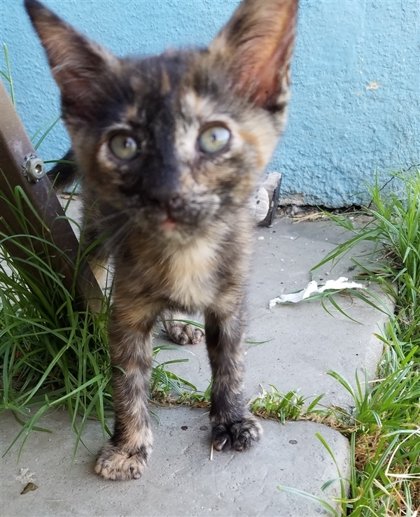 Dash, an adoptable Domestic Short Hair Mix in Tulare, CA
