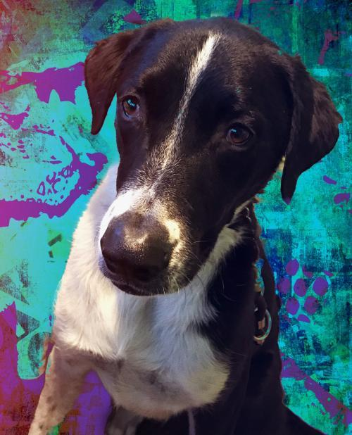 Harley, an adoptable Border Collie & Labrador Retriever Mix in Fort Lauderdale, FL