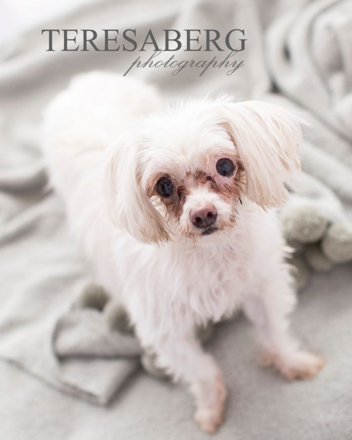 Baby, an adoptable Maltese in Coppell, TX