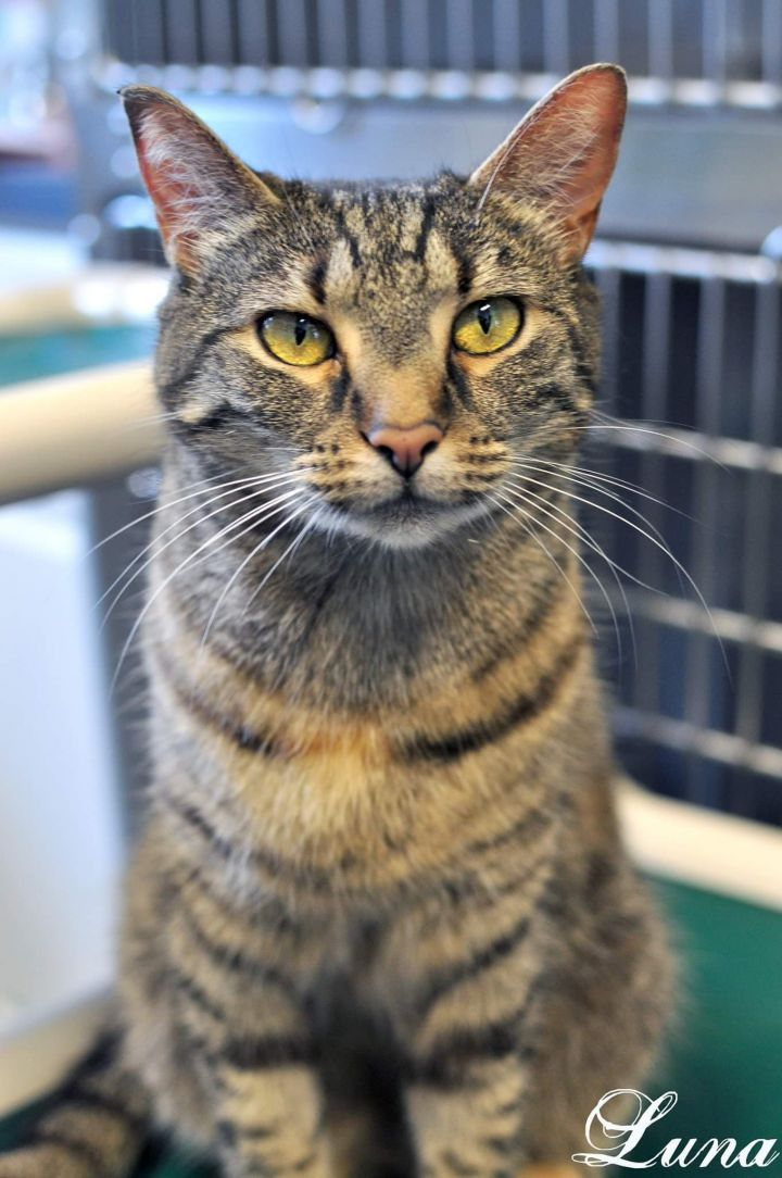 Cat for adoption - Luna, a Domestic Short Hair in Manahawkin