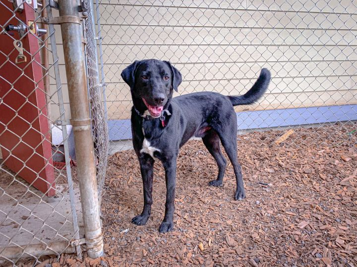 Ransom, an adopted Labrador Retriever & Border Collie Mix in Hood River, OR