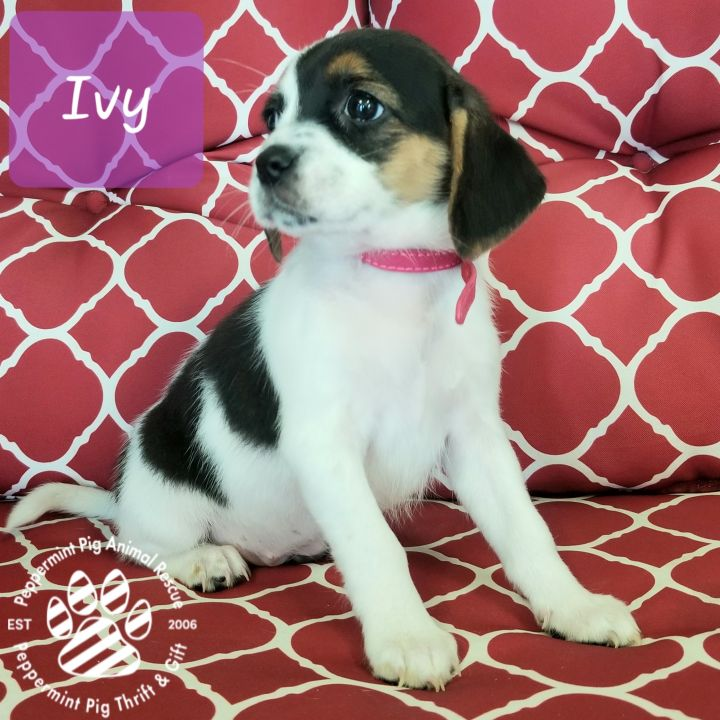 Ivy ADOPTION PENDING 2