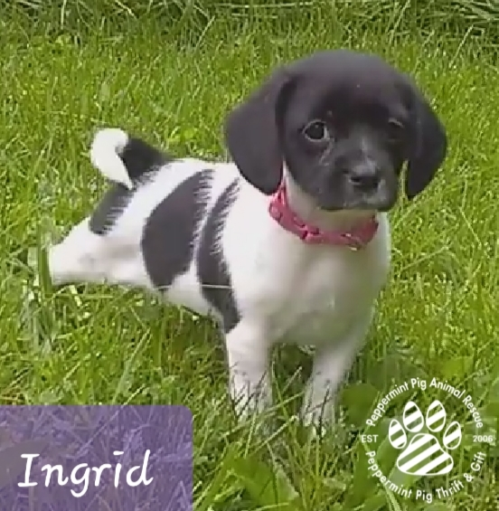 Ingrid ADOPTION PENDING 4