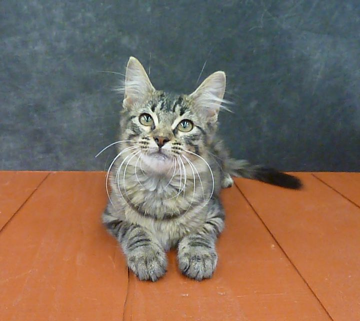 Athens - Maine Coon Mix Kitten 2