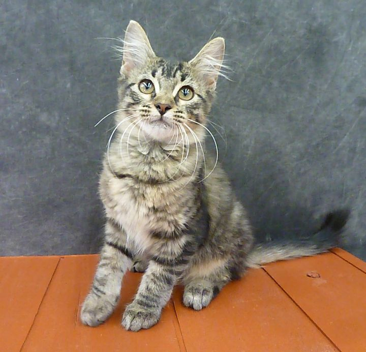Athens - Maine Coon Mix Kitten 6