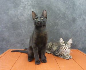 Mykonos - Exotic Looking Black Male Kitten