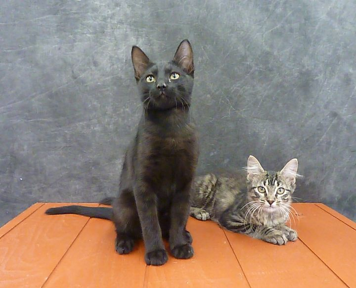 Mykonos - Exotic Looking Black Male Kitten 1