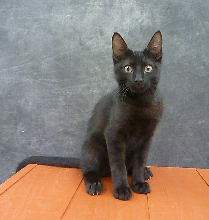 Mykonos - Exotic Looking Black Male Kitten 2