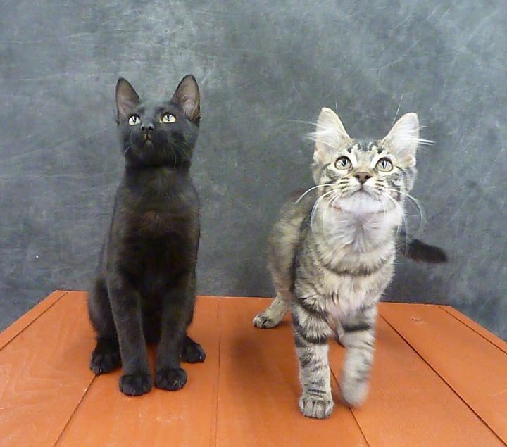 Mykonos - Exotic Looking Black Male Kitten 3