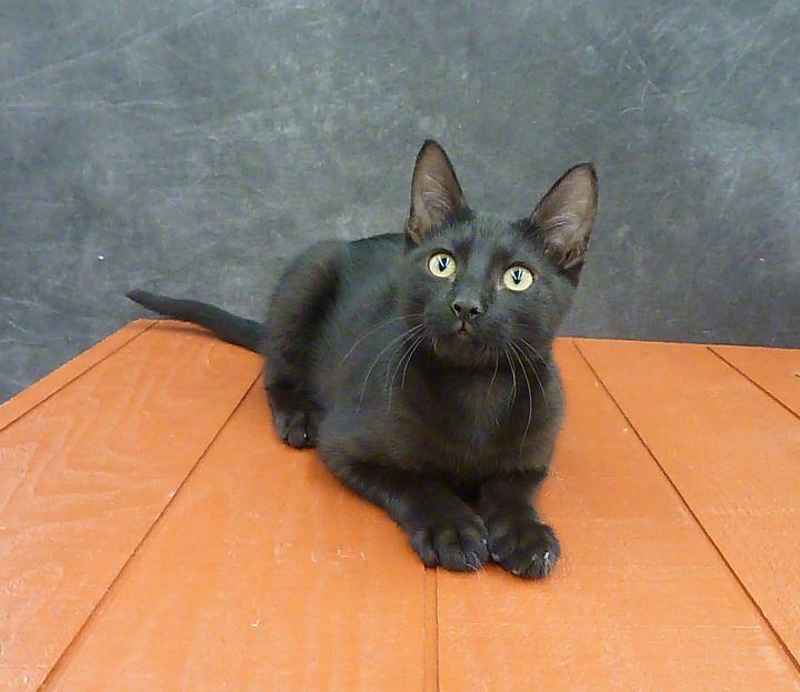 Mykonos - Exotic Looking Black Male Kitten 4