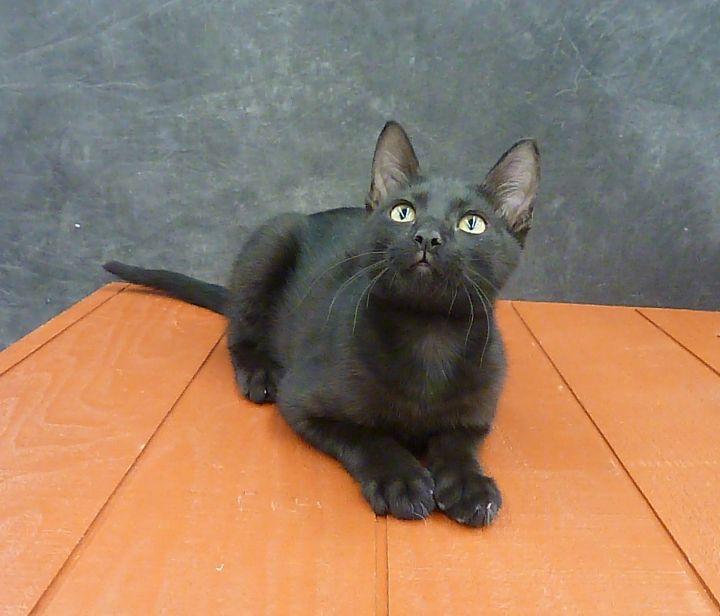 Mykonos - Exotic Looking Black Male Kitten 5
