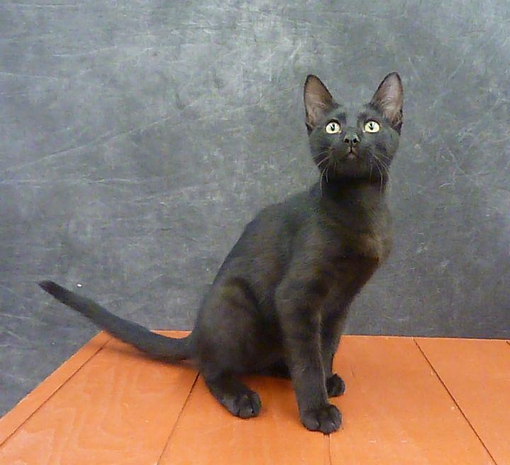 Mykonos - Exotic Looking Black Male Kitten 6