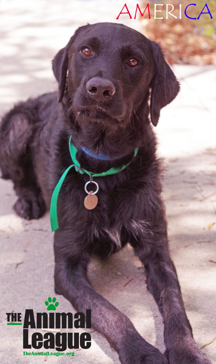 America, an adopted Labrador Retriever & Poodle Mix in Clermont, FL