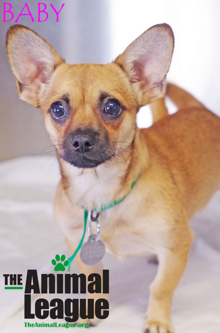Baby, an adoptable Chihuahua Mix in Clermont, FL