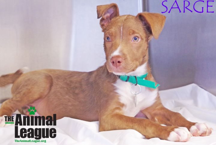 Sarge, an adoptable Catahoula Leopard Dog Mix in Clermont, FL