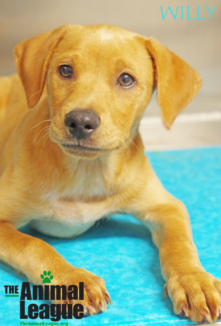 Willy, an adoptable Labrador Retriever in Clermont, FL