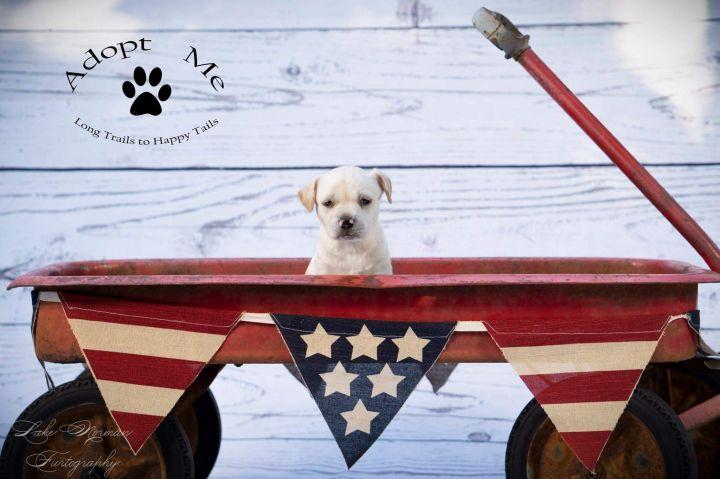 Dog for adoption - Molly G, a Labrador Retriever Mix in