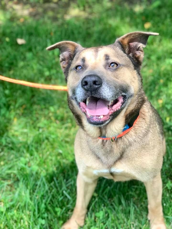 Ace, an adoptable Shepherd & Hound Mix in Dublin, OH