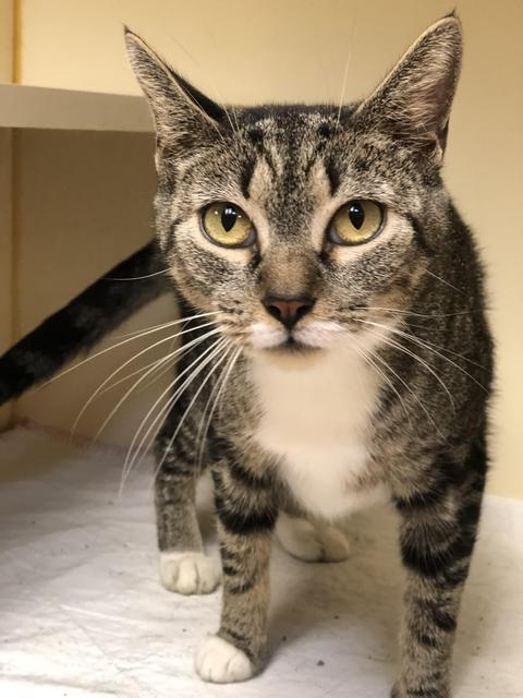Melody - at Lebanon PetSmart!, an adoptable Domestic Short Hair in Myerstown, PA