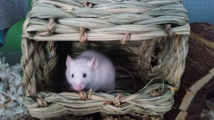 Drow, an adopted Mouse in Saint Paul, MN