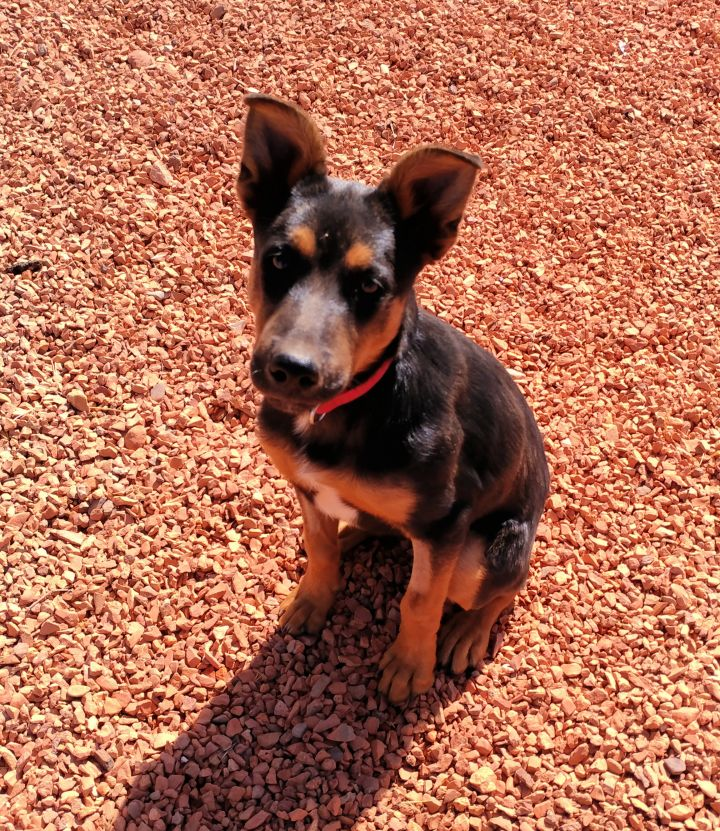 Nash, an adopted Shepherd Mix in Washington, UT