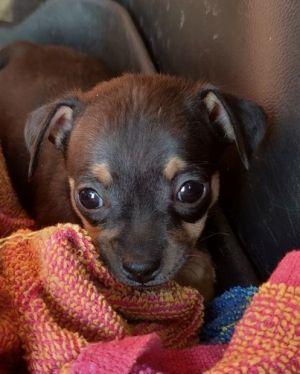 Chihuahua puppy #4 black & tan