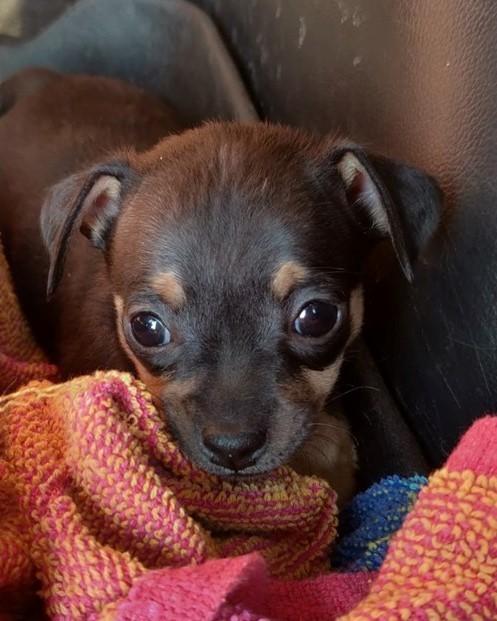 Chihuahua puppy #4 black & tan 1