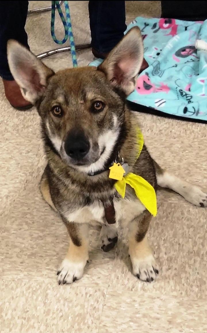Dog for adoption - Snickers, a German Shepherd Dog Mix in