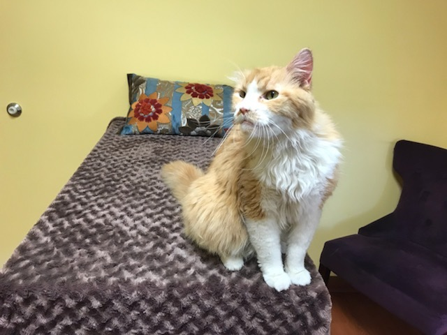 Samson ADOPTED:), an adopted Norwegian Forest Cat & Domestic Long Hair Mix in Waverly, IA_image-2