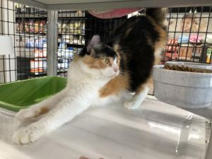Molly (long haired Calico)