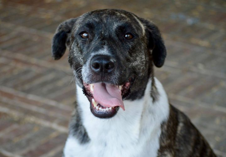 Dog for adoption - Izzy, a Catahoula Leopard Dog & Chow Chow