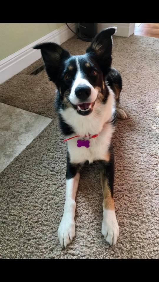Ayla, an adoptable Border Collie Mix in Manhattan, KS