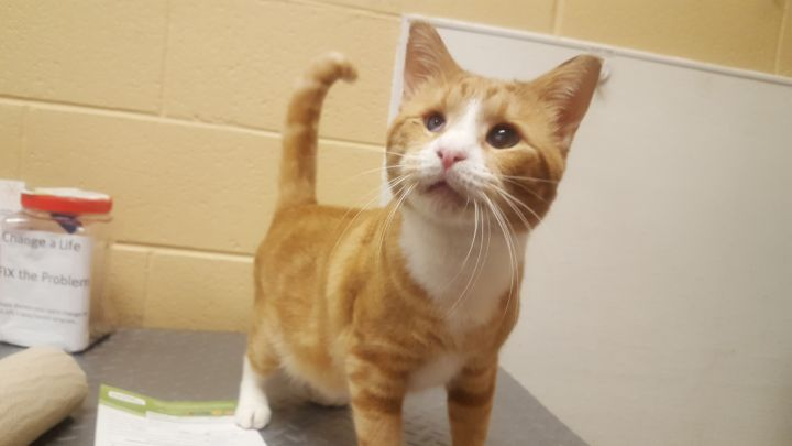 Albert, an adoptable Tabby & Domestic Short Hair Mix in Smithfield, NC