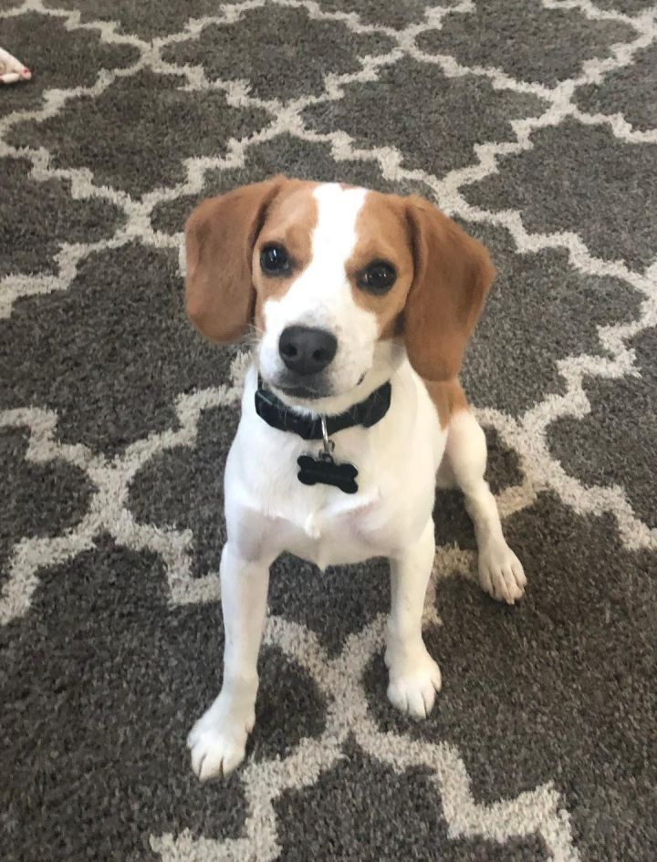 Scooter, an adopted Beagle Mix in Dallas, TX