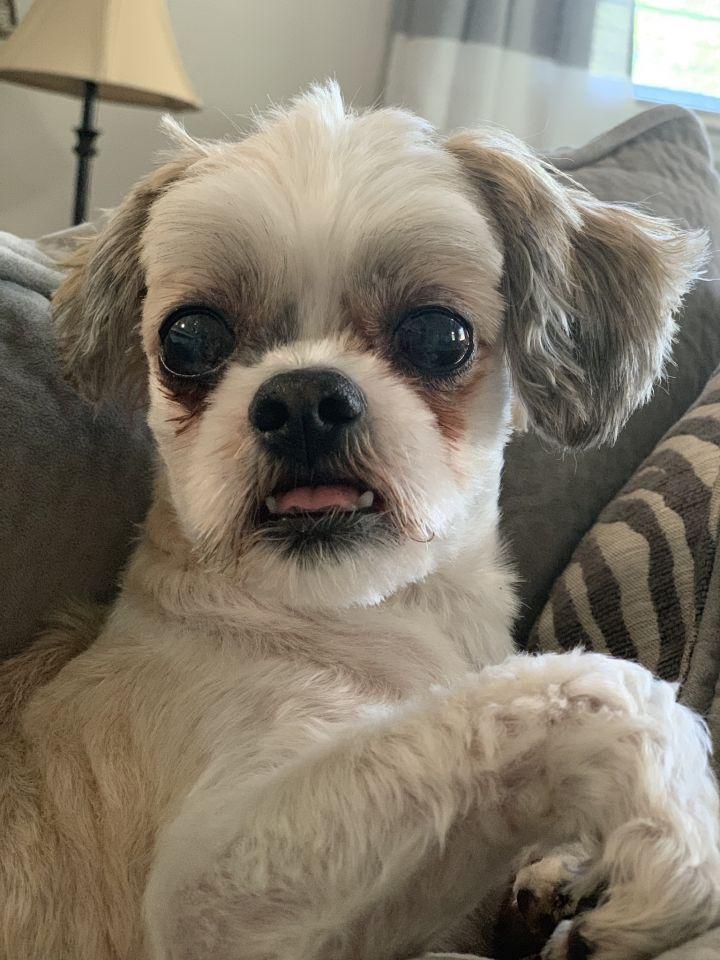 Dog For Adoption Keegan Jada A Shih Tzu In Lexington Ky