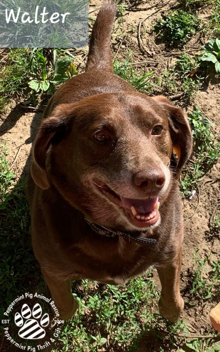 Walter, an adopted Chocolate Labrador Retriever & Dachshund Mix in Cincinnati, OH
